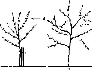 Соверен - Обрезка молодых яблонь, однолетних и двухлетних саженцев