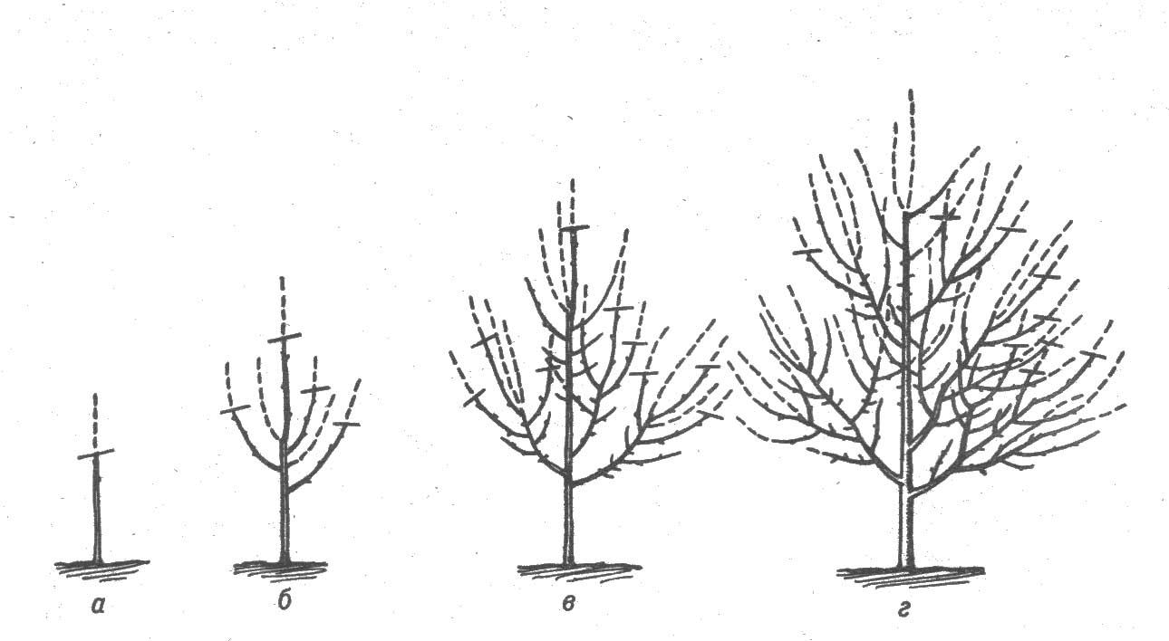 Правильная обрезка деревьев груши