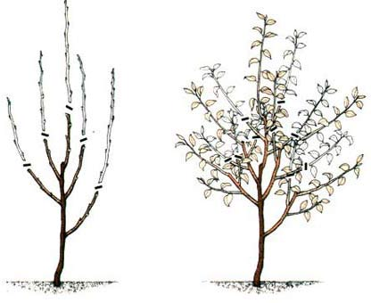 обрезка карликовых яблонь Те