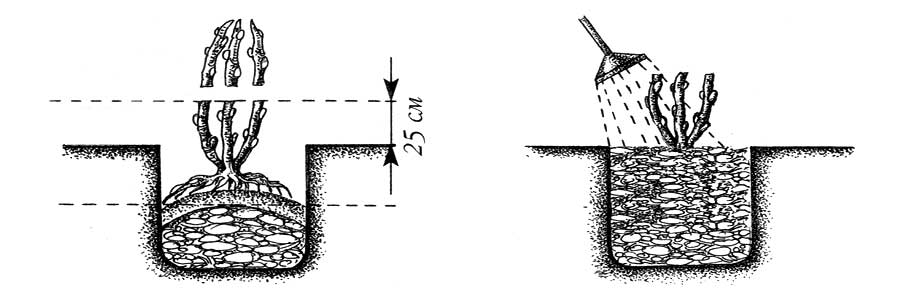 Обрезка ежевики когда и как правильно ее делать - c28ec