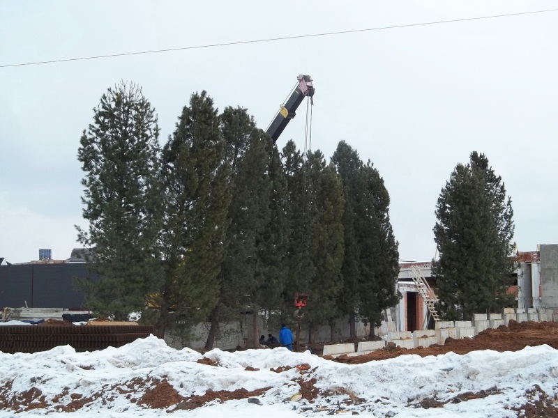 Посадка крупномерных деревьев зимняя