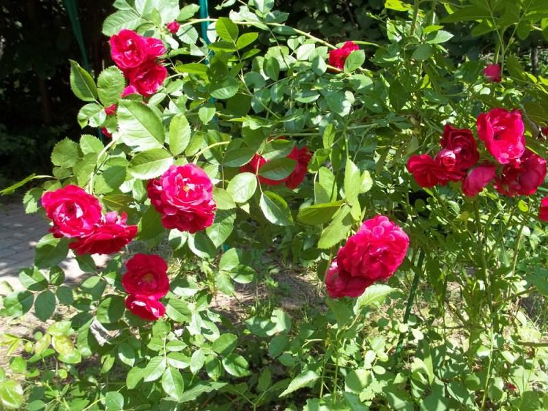 Роза английская выращивание и уход в 304