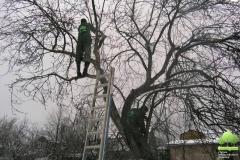 Обрезка взрослого дерева