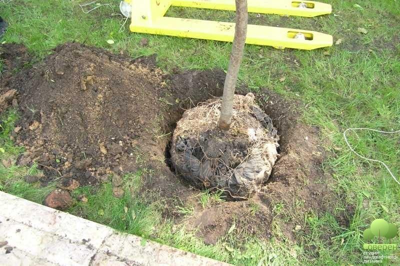 Когда и как сажать деревья осенью или  373