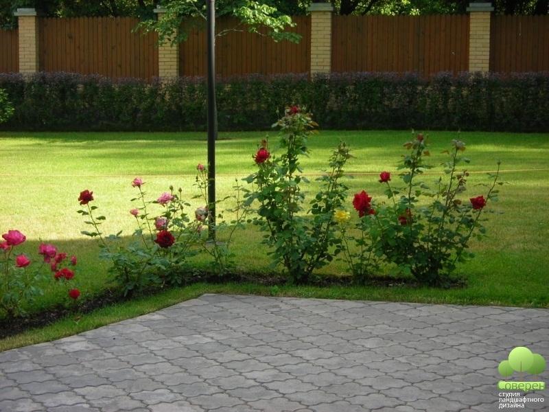 С какими растениями сажают розы 26